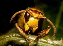 A hornet